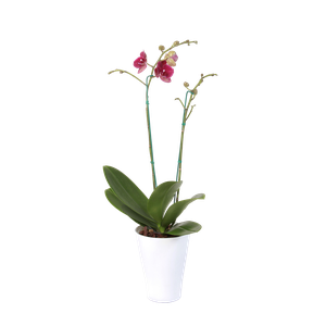 Planta Orquidea Phalenopsis Doble Vara