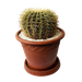 Echinocactus Gigante