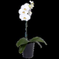 Orquidea Phalenopsis 1 Vara