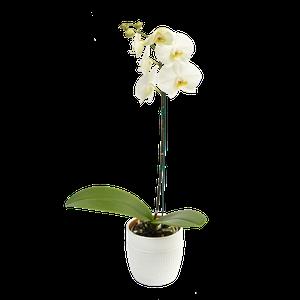 Orquidea Cambrige