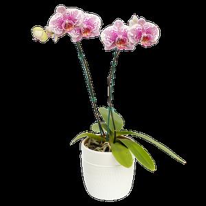 Orquidea  Arwen