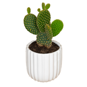 Cacti lineal