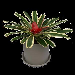 Bromelia Neoregelia